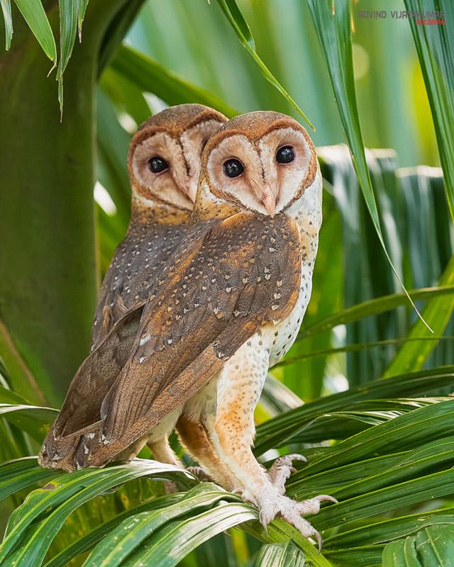 Pair of Andaman Masked Owls