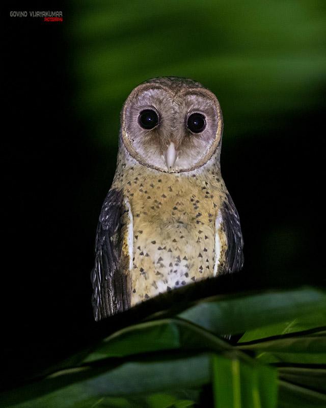 Andaman Masked owl at Night