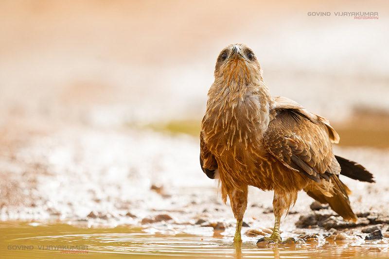 Juvenile Brahminy Kite Drinking Water