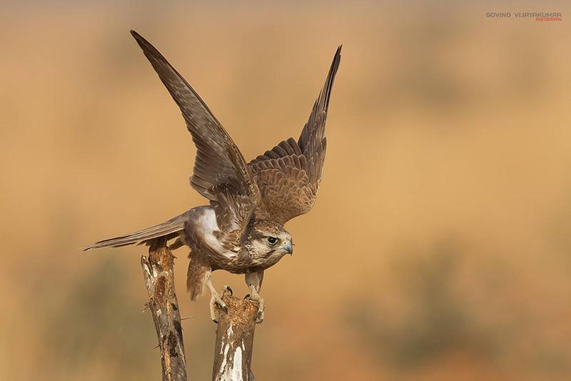 Laggar falcon from Tal Chappar Rajsthan