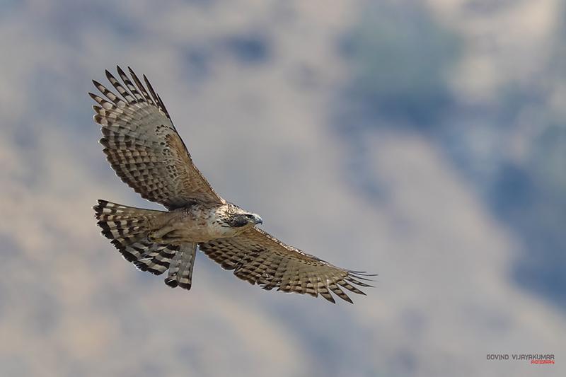 Raptor Mountain Hawk Eagle in Flight