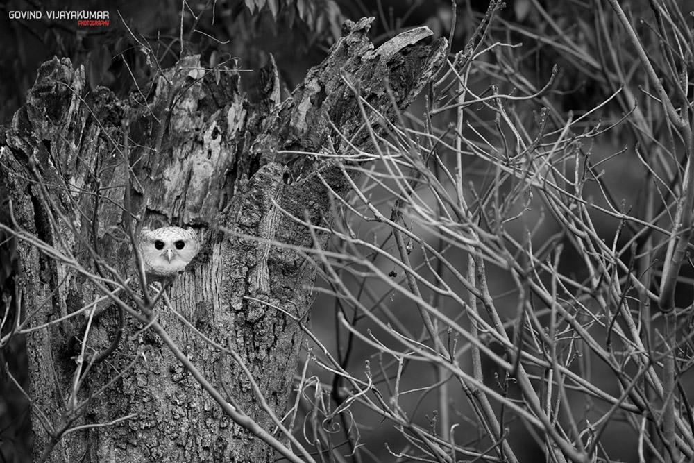 Spot-Bellied eagle Owl Chick in Nest