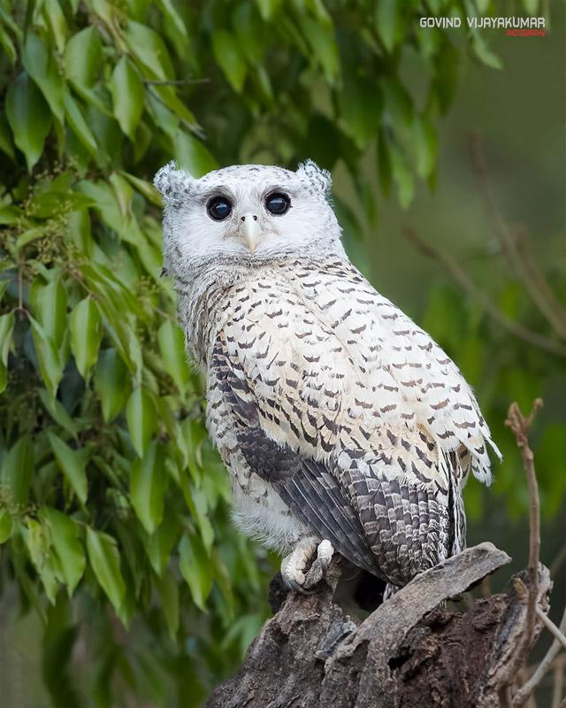 Spot-Bellied Eagle Owl Portrait