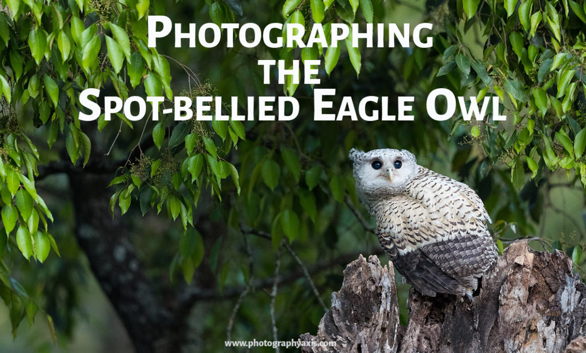 Spot-Bellied eagle Owl Photography