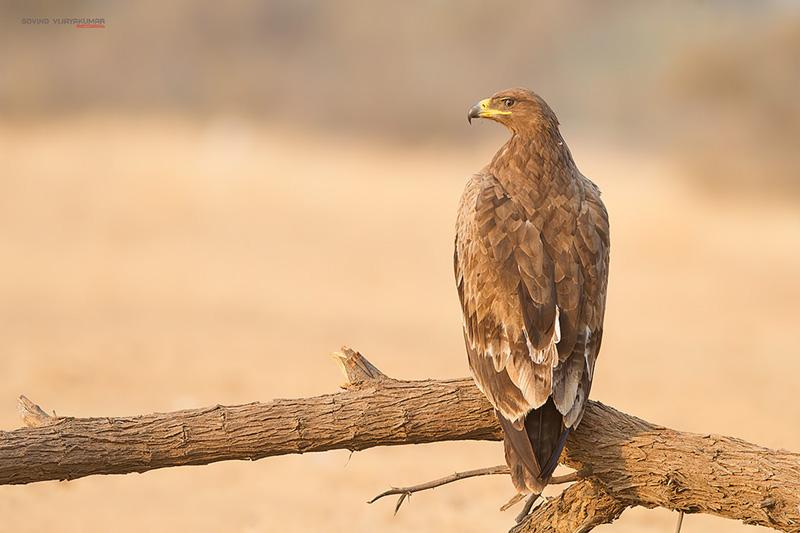Steppe eagle from Bikaner Rajasthan