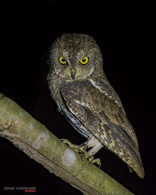Walden Scops Owl