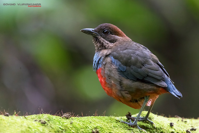 Whiskered Pitta with Graphics Watermark
