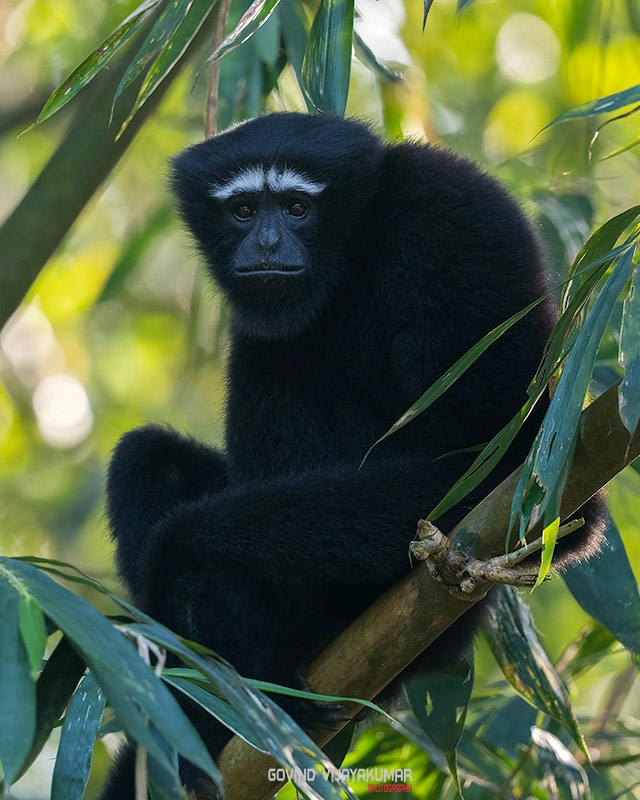 Hoolock Gibbon from Assam