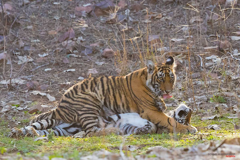 Tiger Cubs playing from Ranthambore
