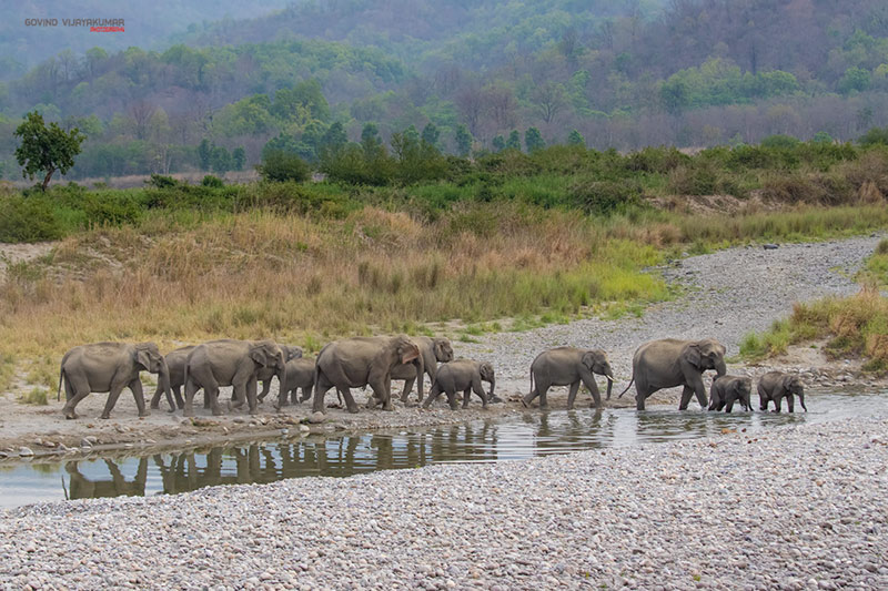 Elephant Herd from Corbett