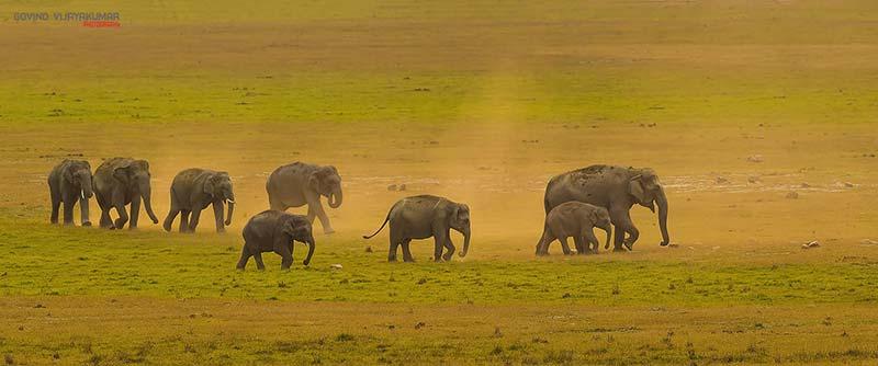 Elephant Herd by Govind-Vijayakumar