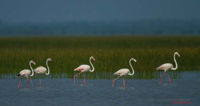 Group of Odd number of Flamingos
