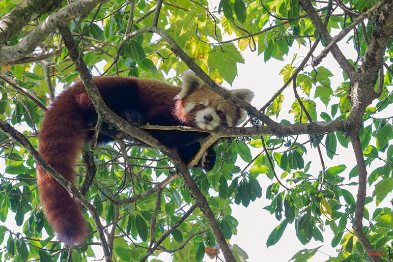 photographing rare red panda from wild