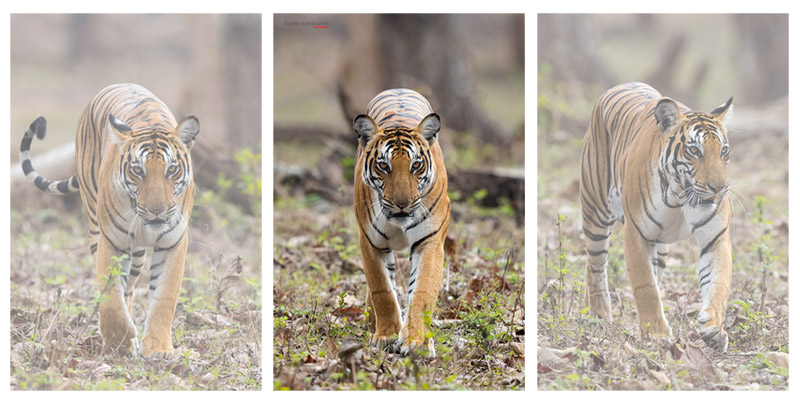 Series of Tiger Portrait Images