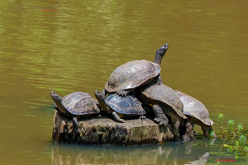 5 Tortoises from Kabini