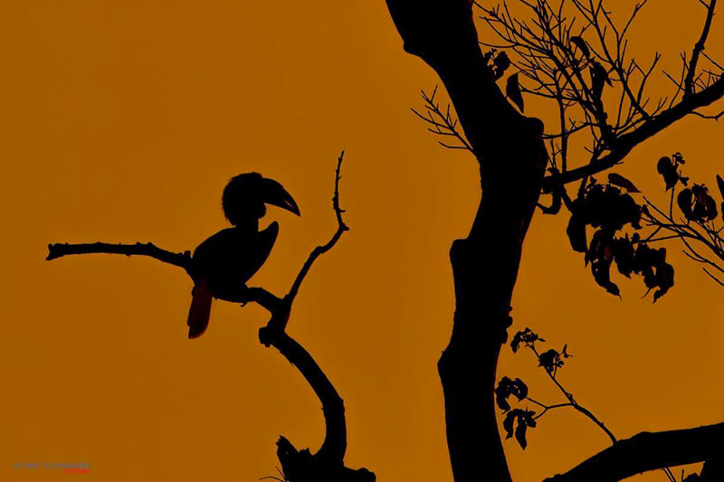 Wreathed Hornbill Silhouette Image