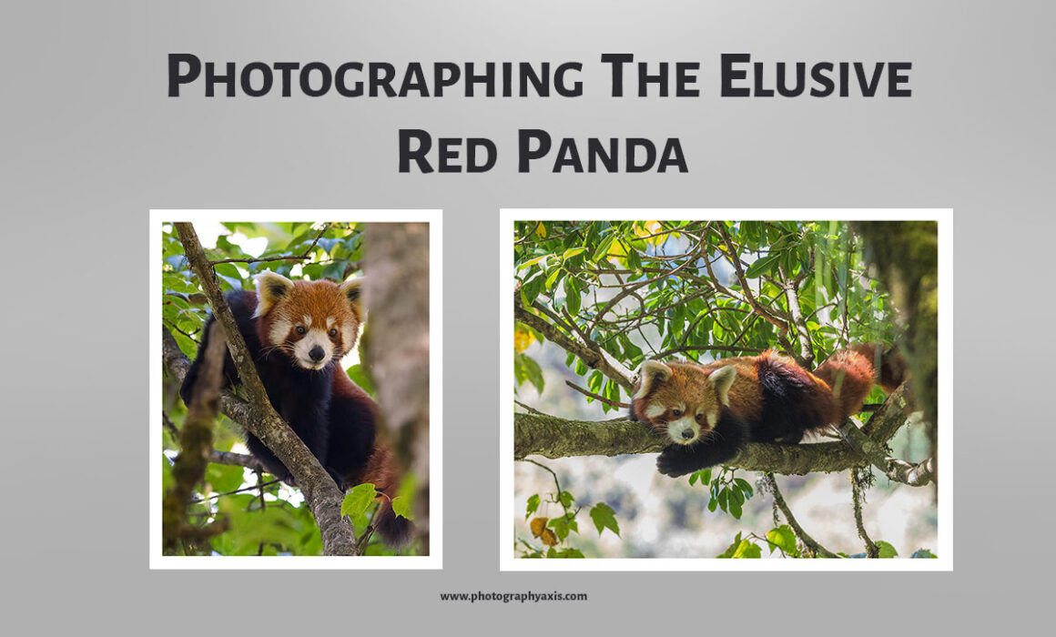 photographing the elusive red panda