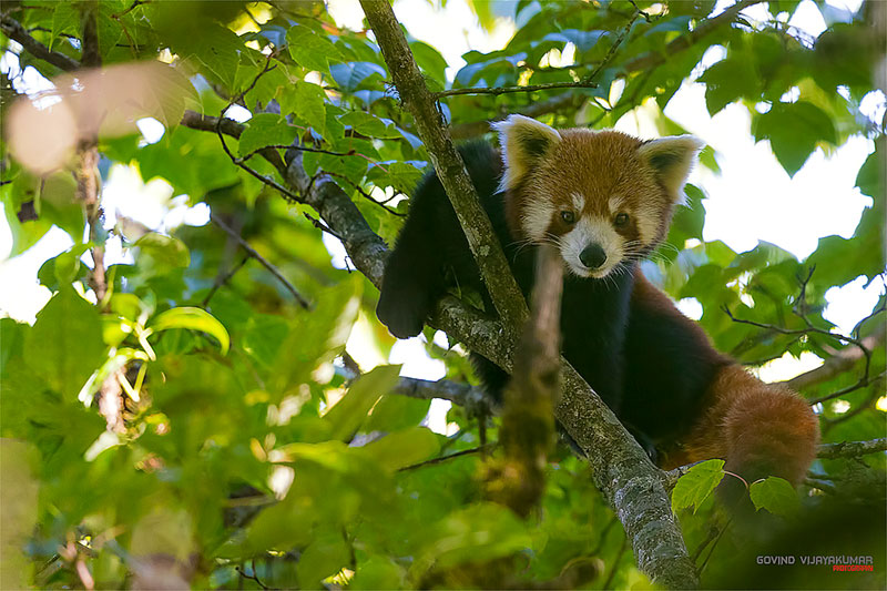 red panda photography