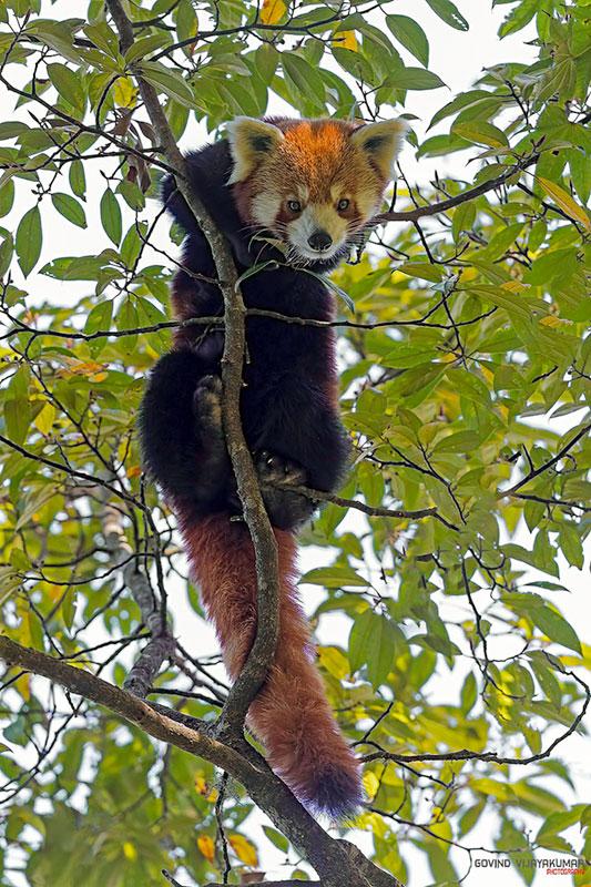 red panda singalila national-park