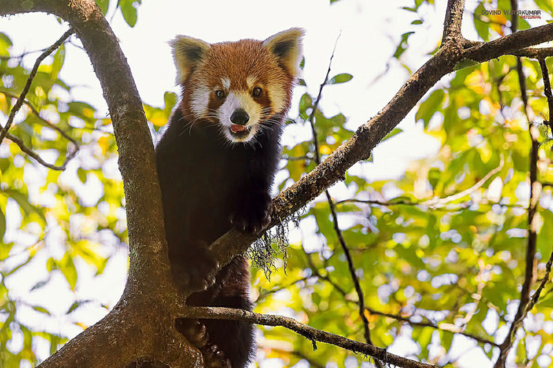 red panda from singalila national park
